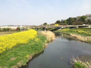 芝川と菜の花