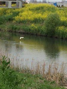 芝川に舞い降りるシラサギ