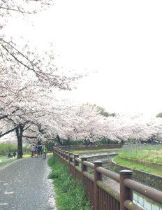 用水路と桜並木のカーブしているあたり