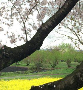 桜並木から農園を望む