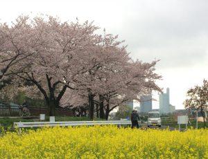 菜の花畑から見た桜並木
