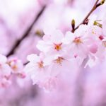 埼玉県 見沼桜回廊お花見|江戸時代にタイムスリップしてもっと堪能!
