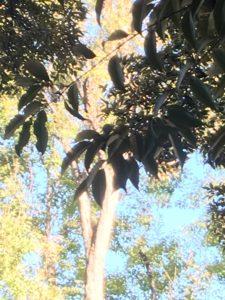 常緑樹スダジイの木の深緑色の葉