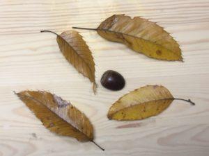 クヌギの実と葉